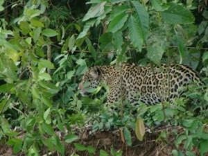 El jaguar habita en el PN Madidi.